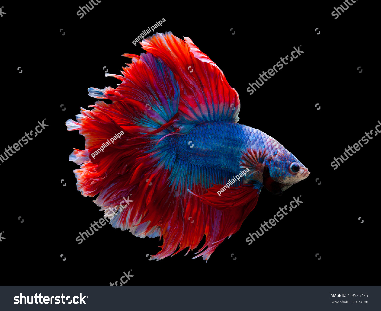 Multi Color Siamese Fighting Fish Rosetail Halfmoonfighting Stock ...