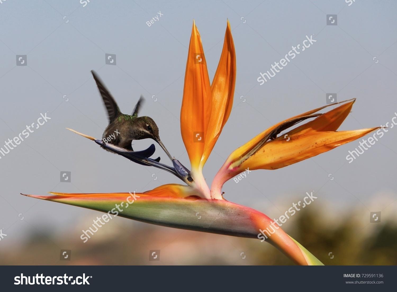 Hummingbird drinking nectar bird paradise flower stock photo hummingbird drinking nectar of bird of paradise flower strelitzia buycottarizona