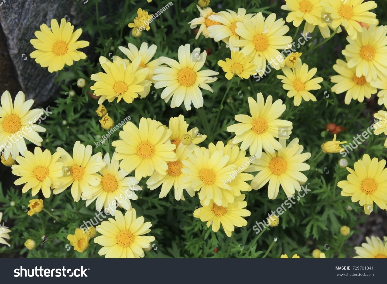 Yellow Daisy Type Flowers In A Garden Ez Canvas