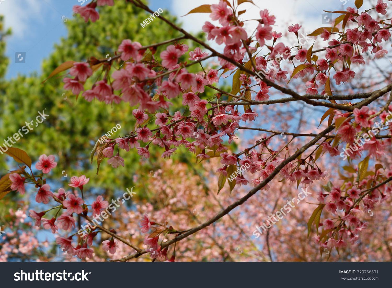 Pink Flower Blossom Winter Season Nan Stock Photo (Edit Now) 729756601