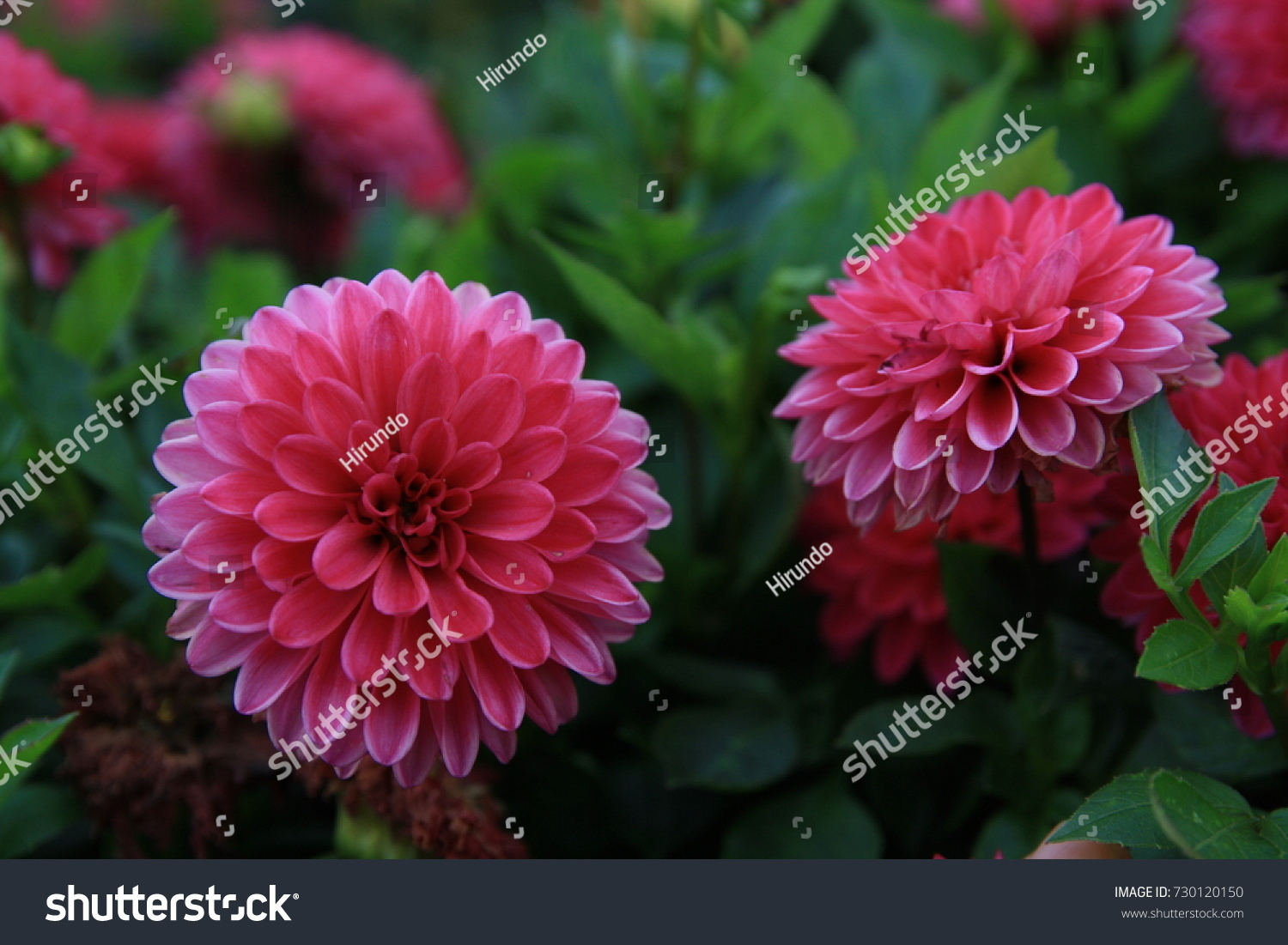 Dahlia flower that adorns late summer stock photo edit now dahlia a flower that adorns the late summer and autumn garden with bright colors izmirmasajfo