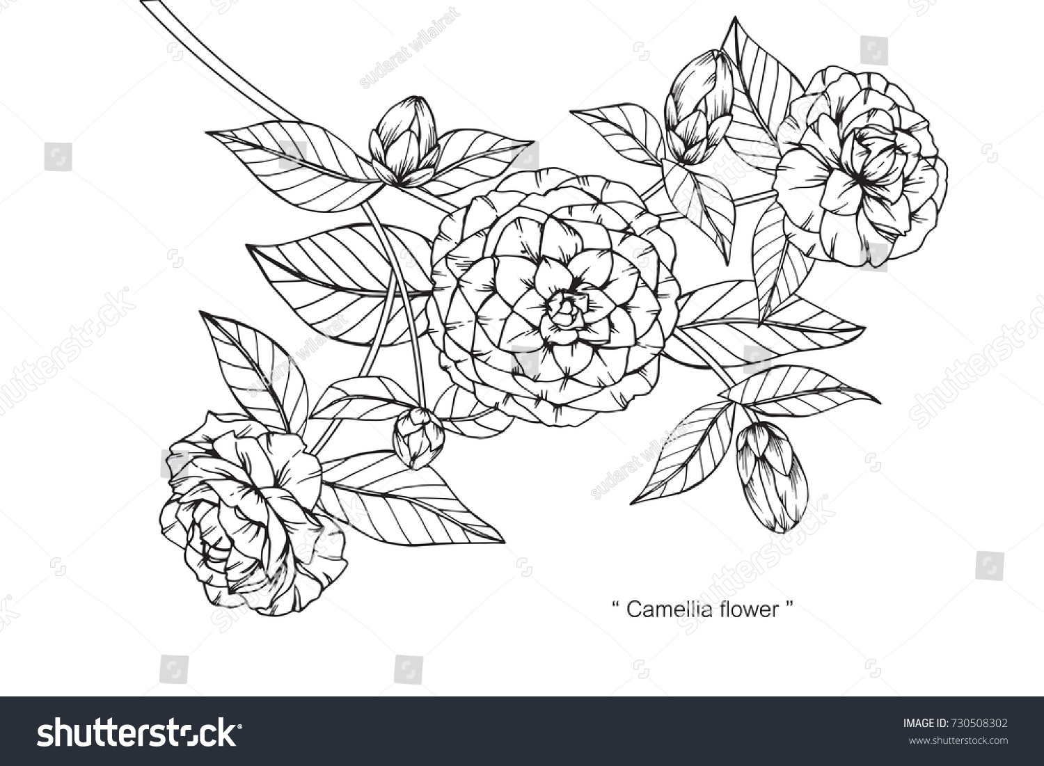Camellia Flower Line Drawing : Hand drawing sketch camellia flower black stock vector
