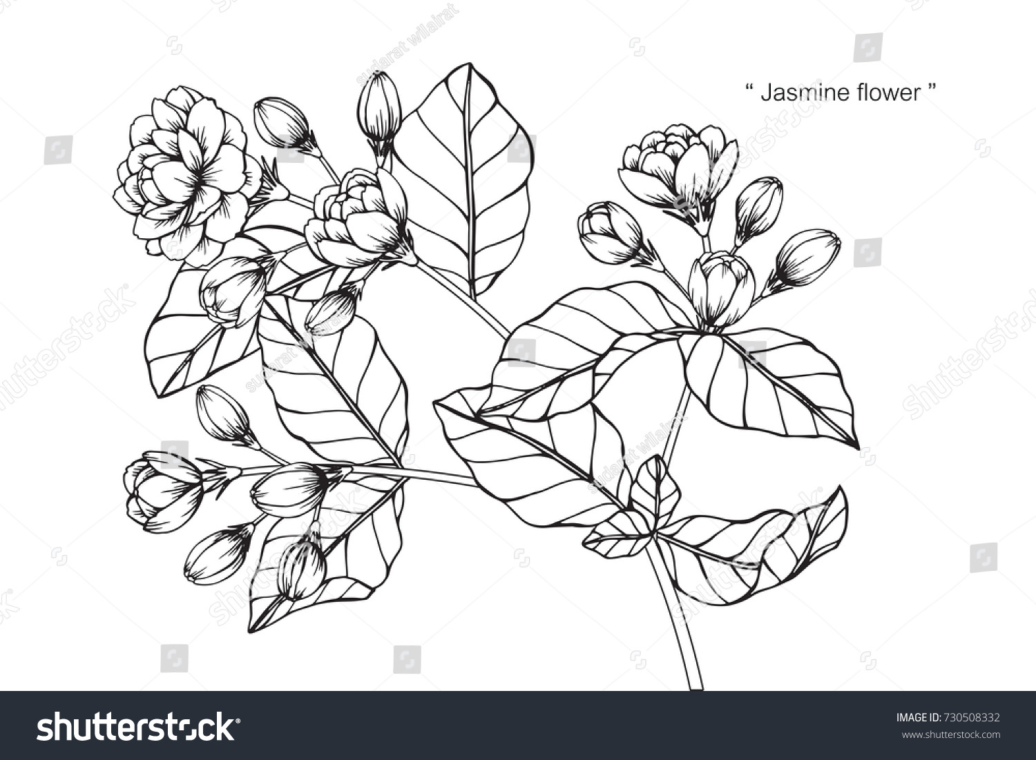 Hand drawing and sketch jasmine flower black and white with line art illustration