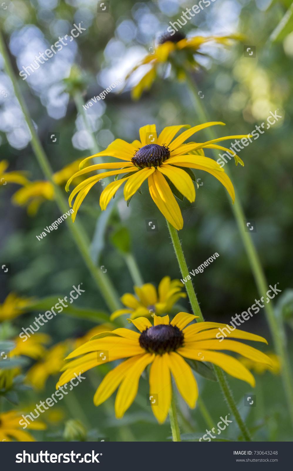 Rudbeckia hirta yellow flower with black brown centre in bloom rudbeckia hirta yellow flower with black brown centre in bloom black eyed susan in the garden ez canvas mightylinksfo
