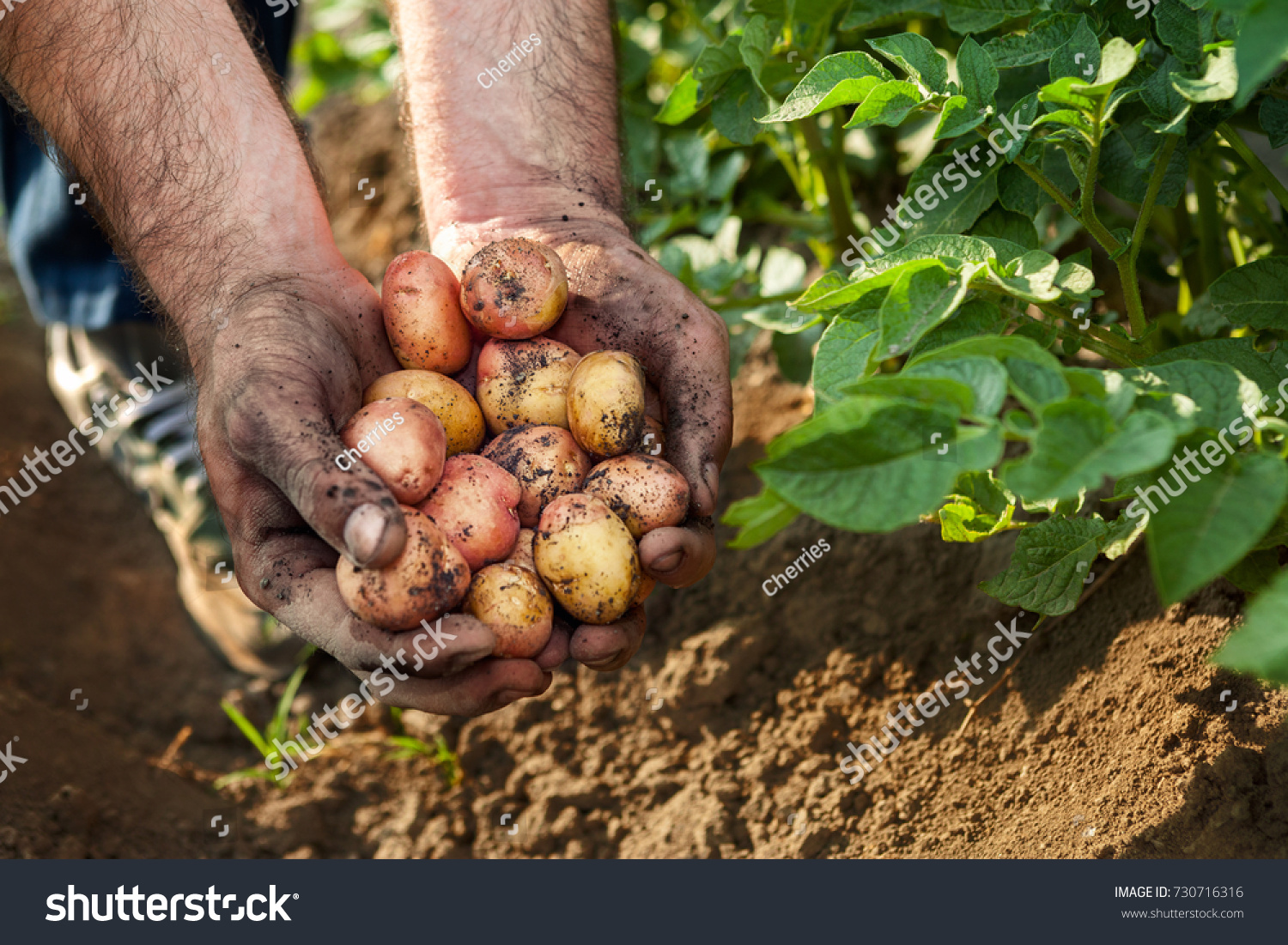 Raw Potato Hands Gardener Potato Harvest Garden Stock Photo (Royalty ...
