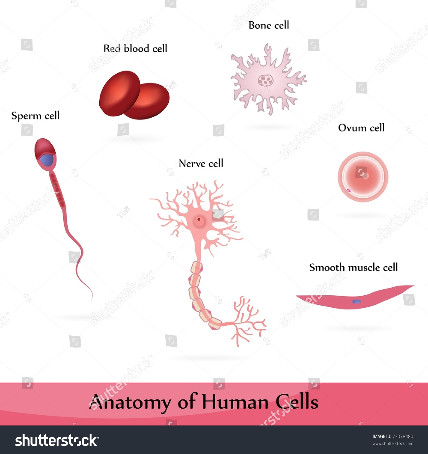 human cells anatomy muscle bone nerve stock vector 73078480, Muscles