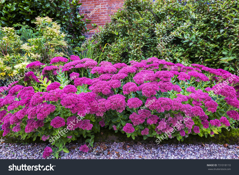 Purple Sedum Flowering Perennial Plants Herbaceous Stock Photo Edit