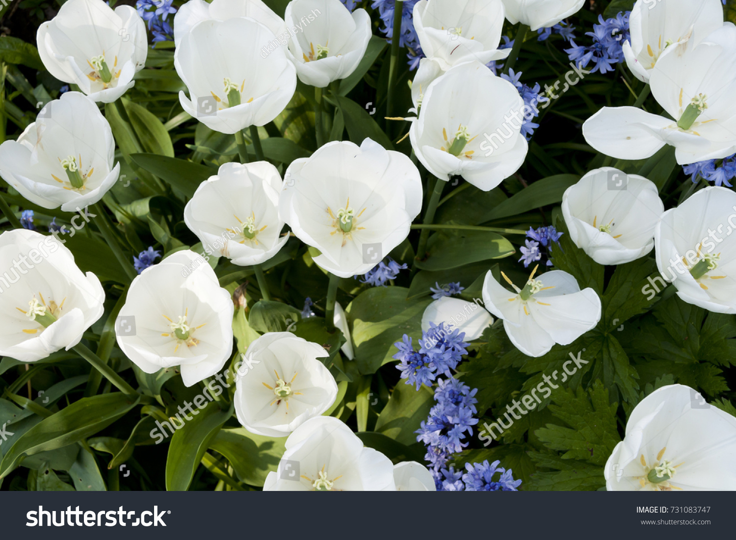 White Tulips Blue Bell Shaped Flowers Stock Photo Edit Now