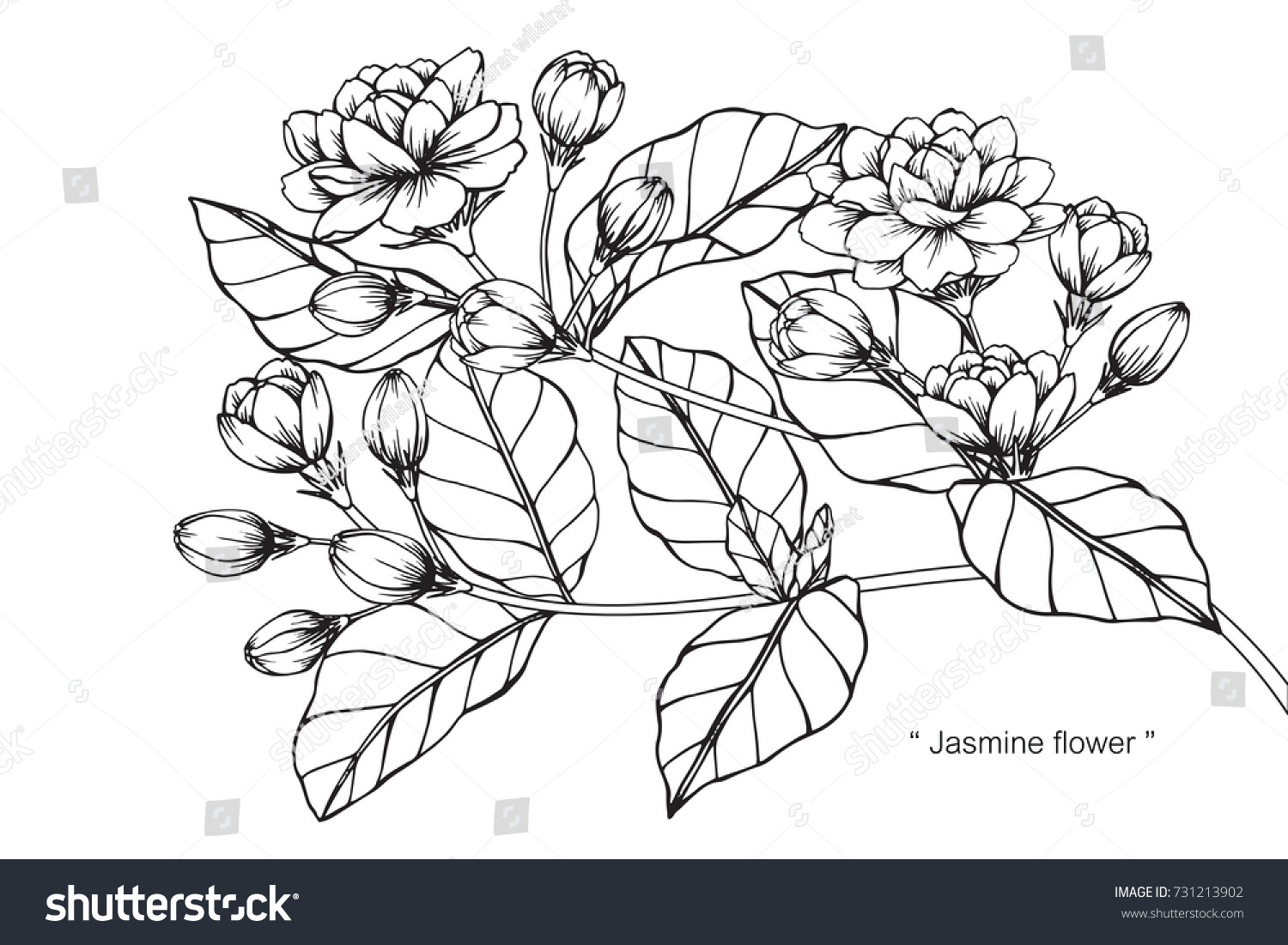 Line Drawing Jasmine Flower : Hand drawing sketch jasmine flower black stock vector