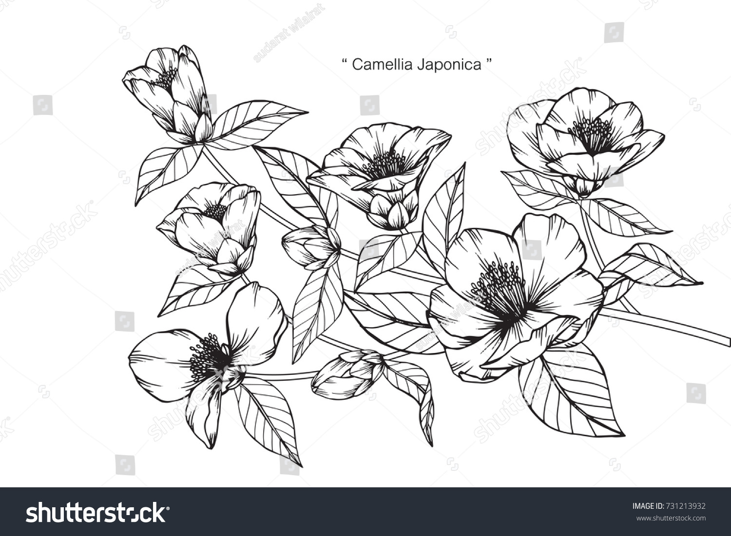 Camellia Flower Line Drawing : Hand drawing sketch camellia japonica flower stock vector
