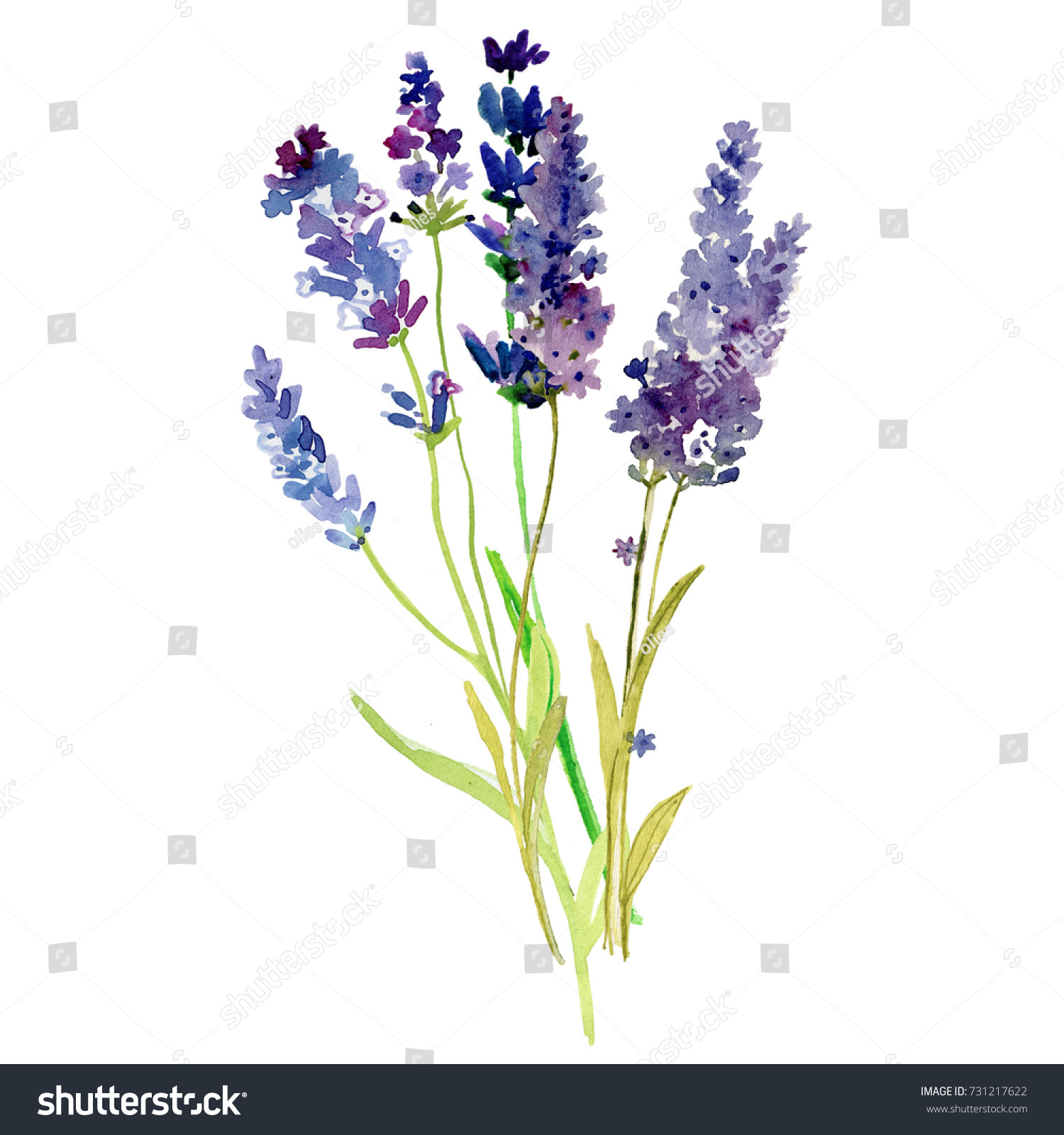 Ilustracoes Stock Imagens E Vetores De Isolated Provence Lavender Flowers Watercolor Floral 731217622