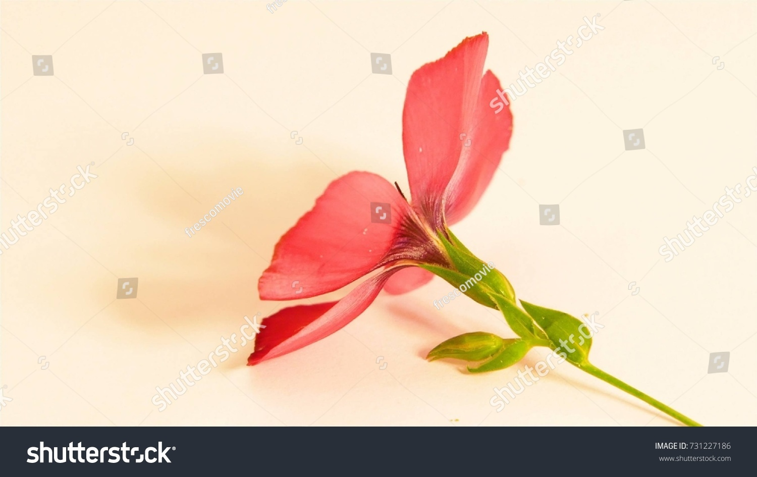 Beautiful red flower isolared on white stock photo royalty free beautiful red flower isolared on white stock photo royalty free 731227186 shutterstock izmirmasajfo