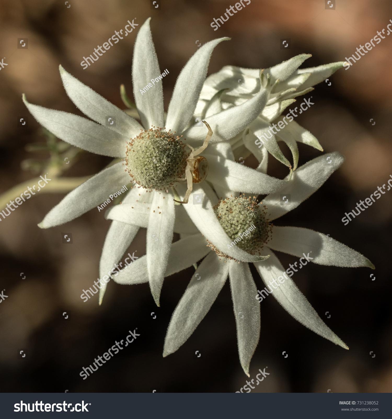 Closeup White Australian Native Flannel Flowers Stock Photo Edit