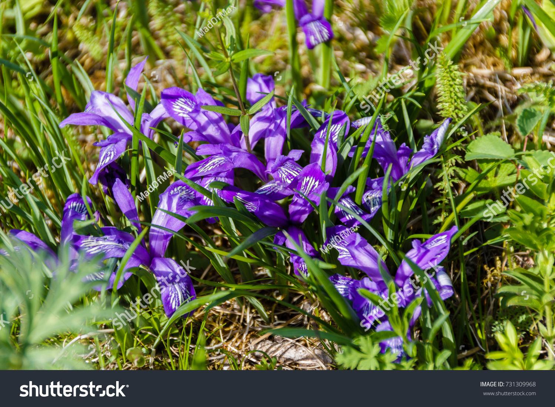 Purple Flowers In Grass Cuckoo Tears Ez Canvas
