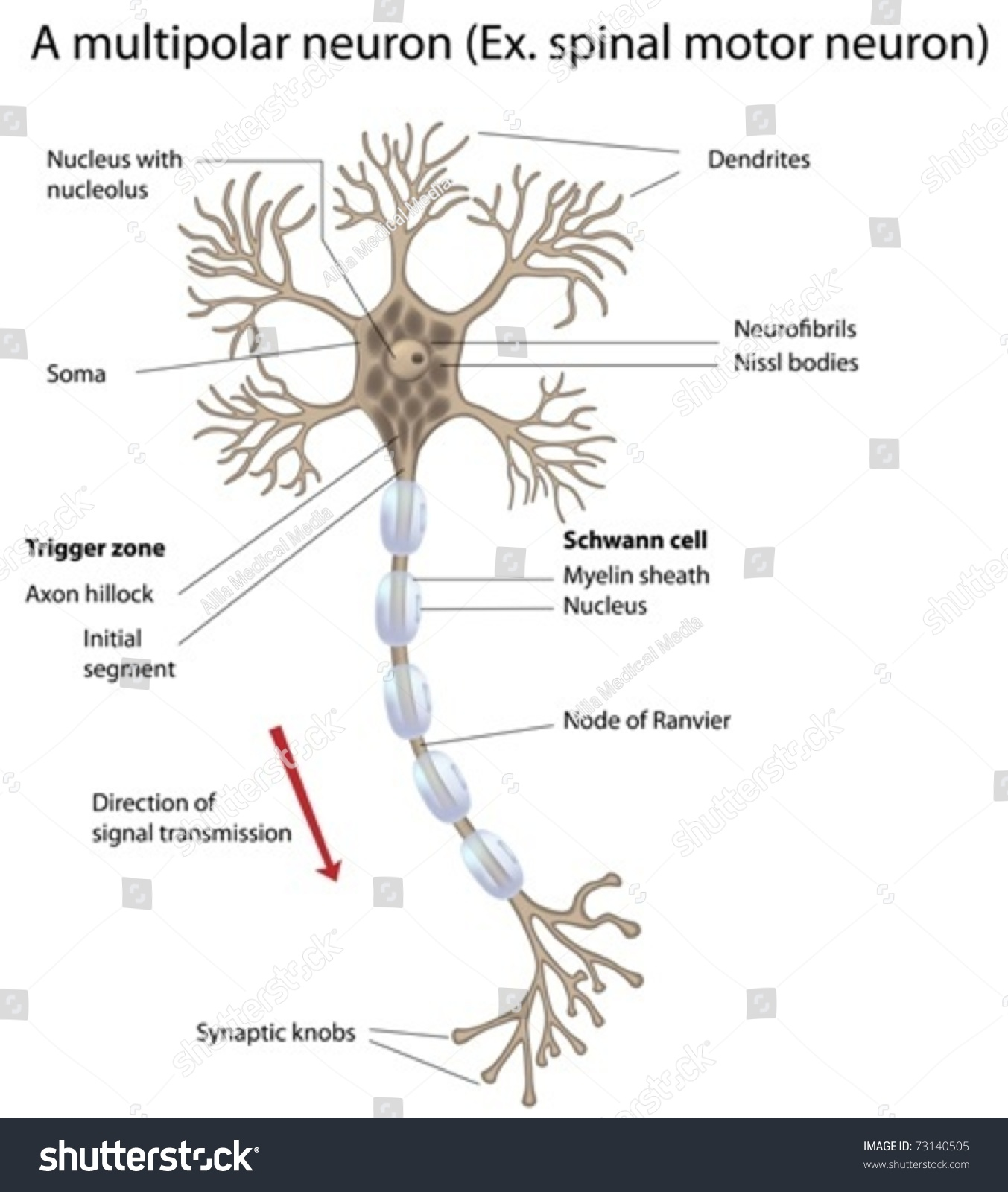 Motor Neuron Detailed Accurate Labeled Stock Photo (Photo, Vector ...