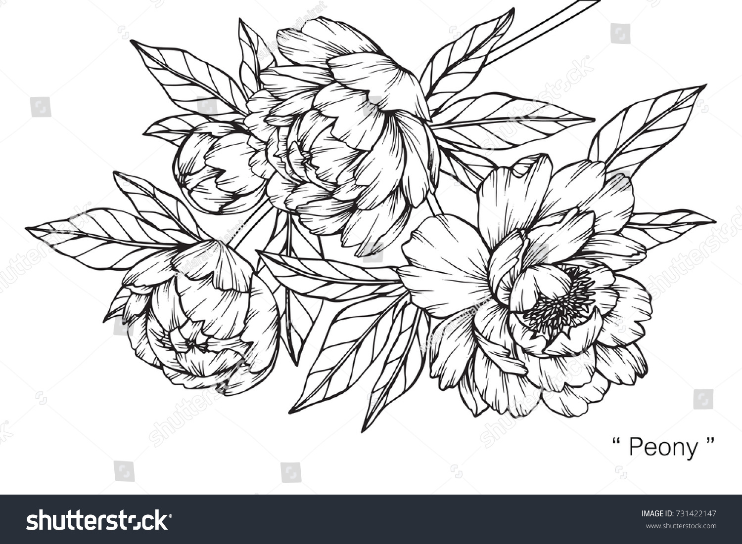 Peony Flower Line Drawing : Hand drawing sketch peony flower black stock vector