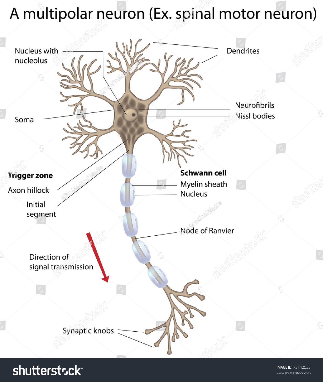 Motor neuron detailed accurate labeled stock illustration for What is motor neuron