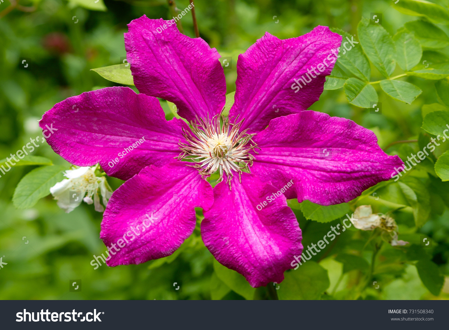 Huge pink pink clematis flower stock photo 731508340 shutterstock huge pink pink clematis flower mightylinksfo