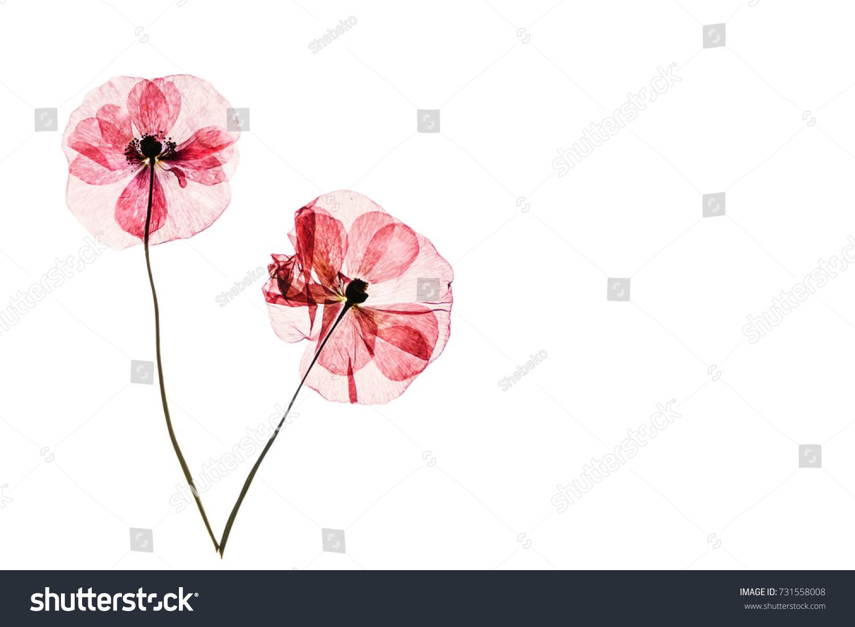 Dry Poppy Flowers Stock Photo Royalty Free 731558008 Shutterstock