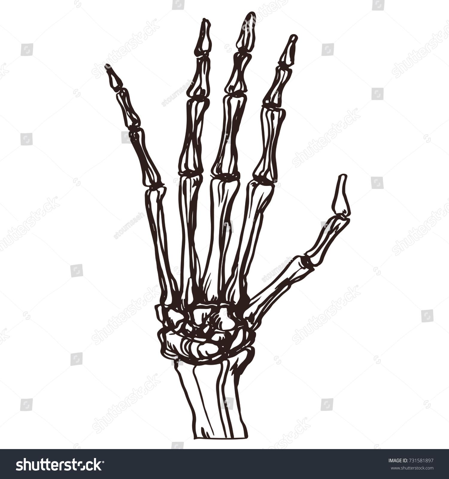 Detailed Hand Drawn Illustration Bone Skeleton Stock Vector Royalty
