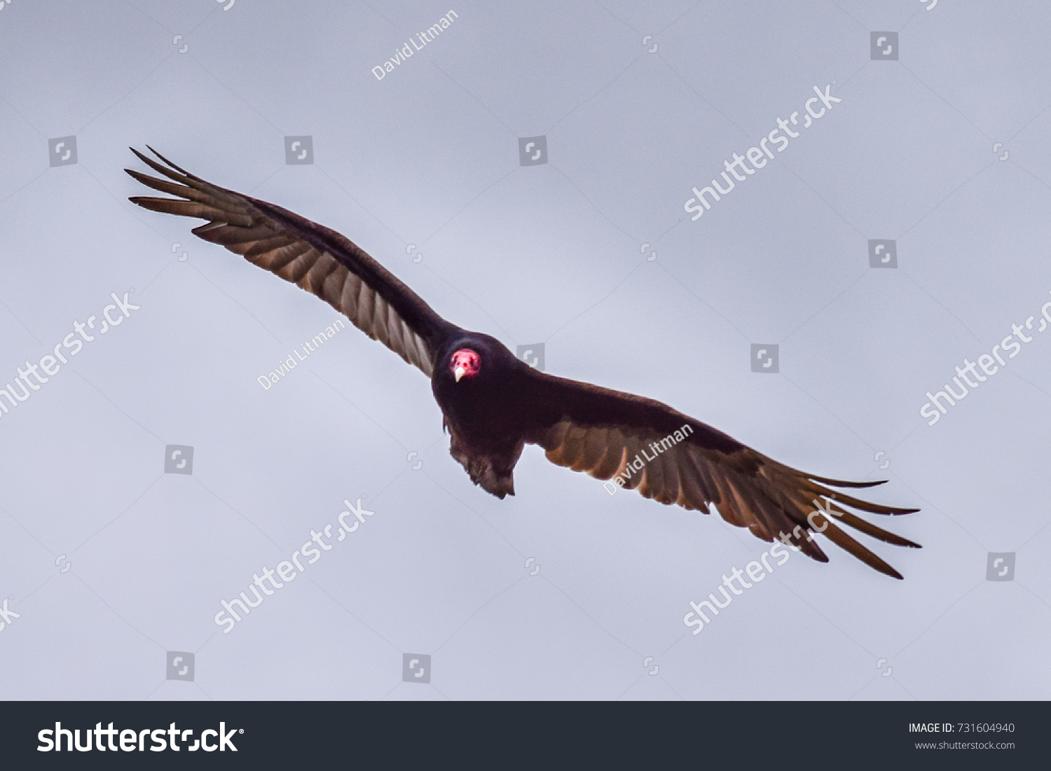 A large Turkey Vulture flying, circles overhead, searching for carrion to feast on.
