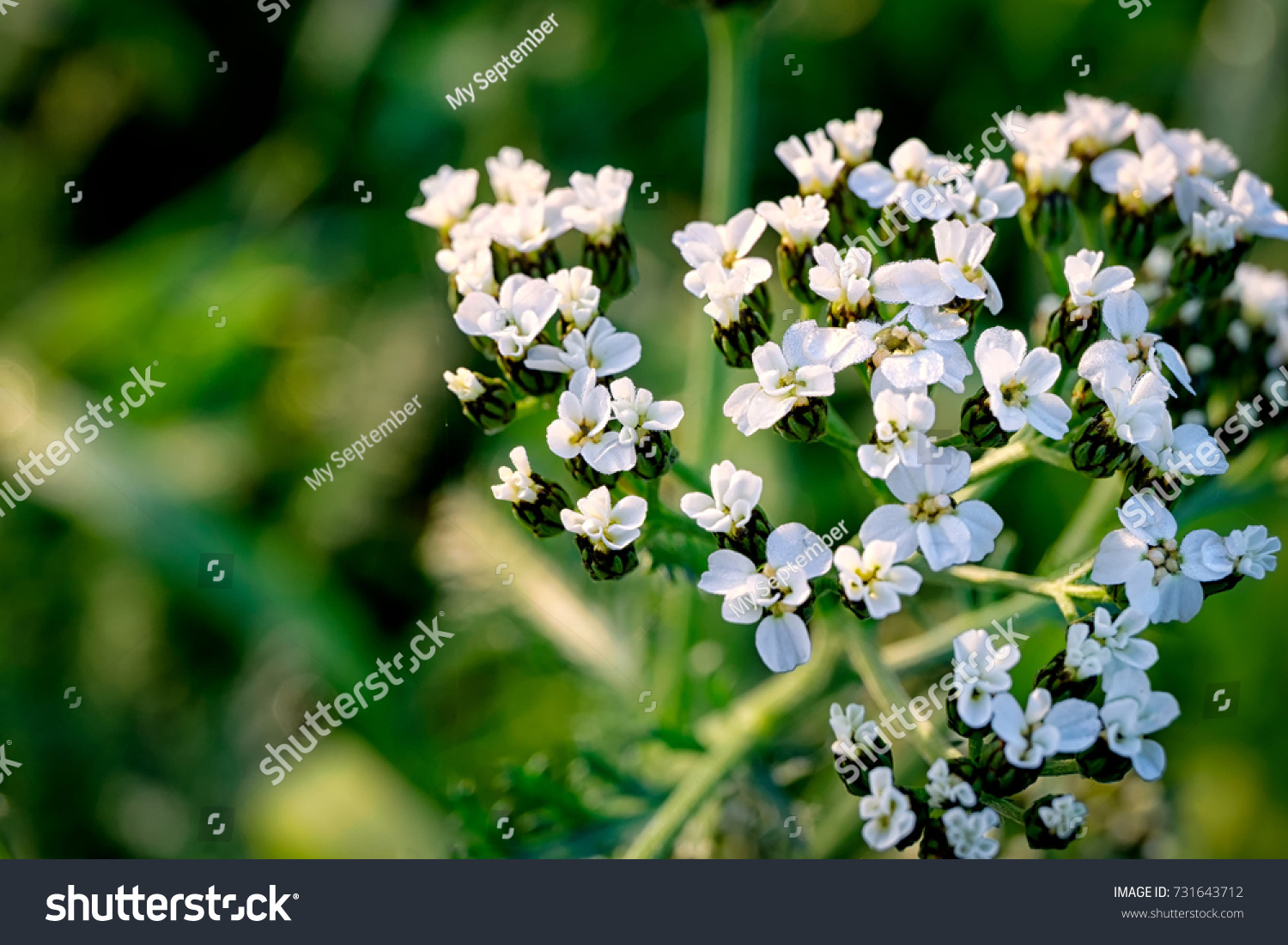 Closeup Of Small White Flowers On Bush Floral Background Ez Canvas