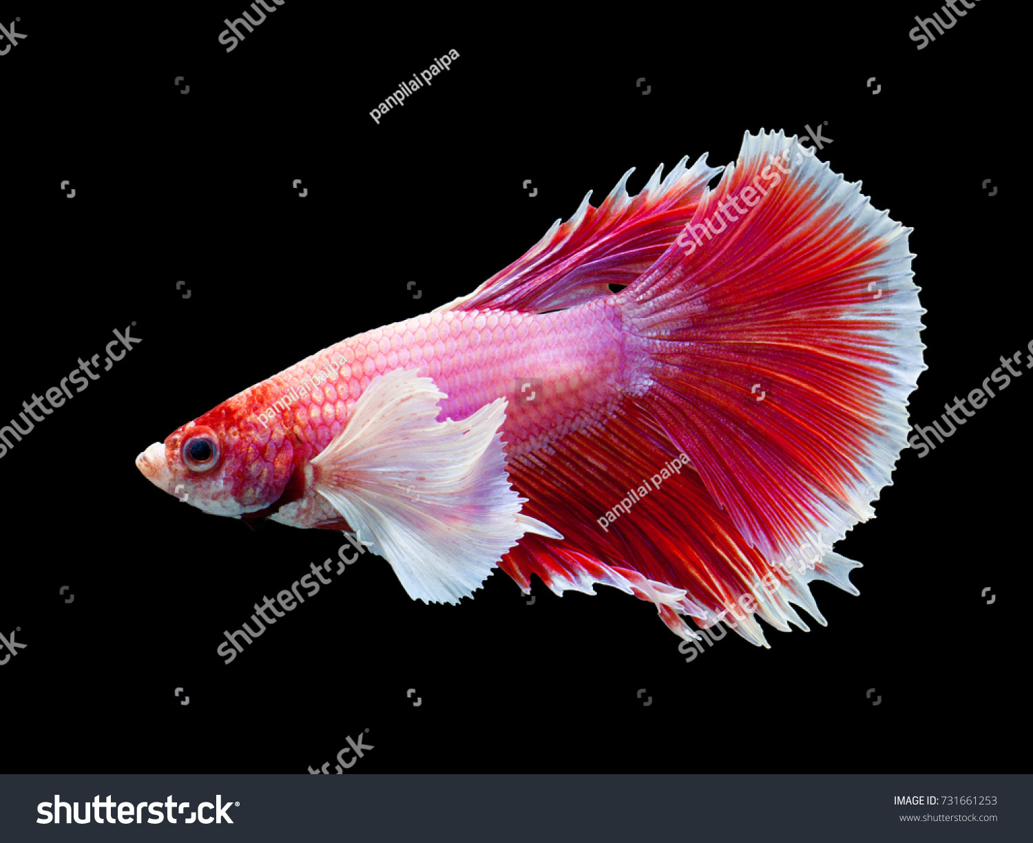 red fighting fish on black background | EZ Canvas