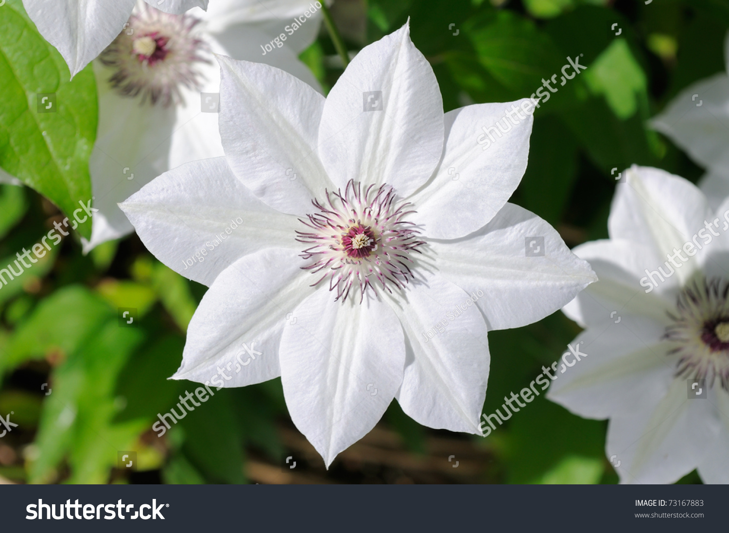 Beautiful White Flower Clematis Vine Stock Photo Edit Now 73167883