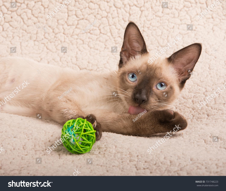 stock-photo-cute-siamese-kitten-licking-