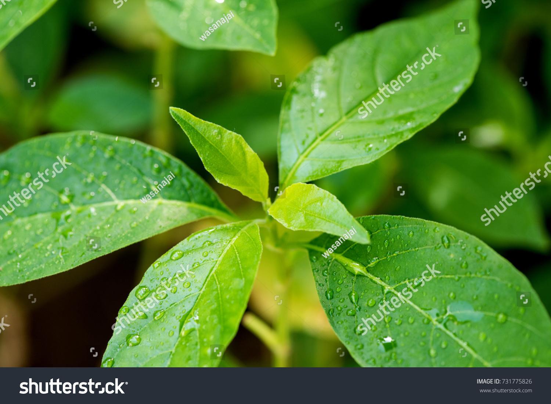 White Crane Flower Trees And Thai Herbs Have Antifungal Properties