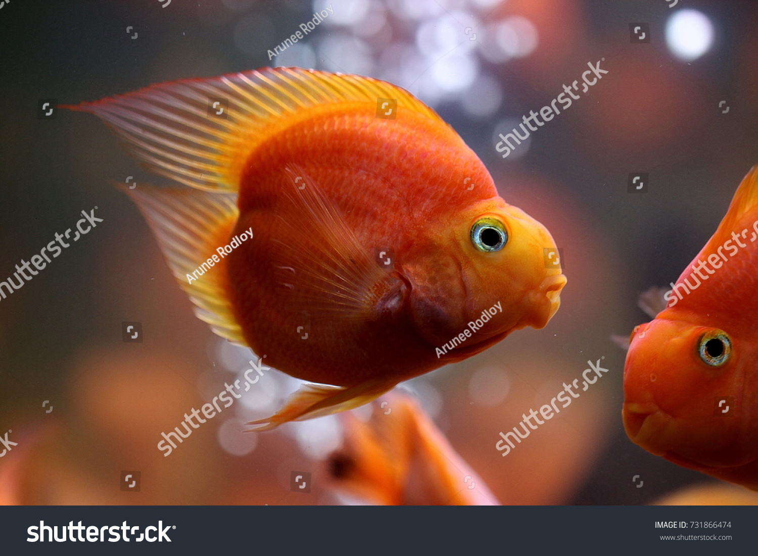 The blood parrot cichlid is a a man-made hybrid of the midas and the redhead