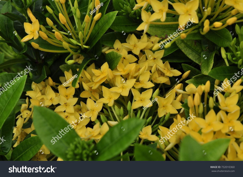 Bright Yellow Flowers In The Gardenllow Needle Flowersautiful