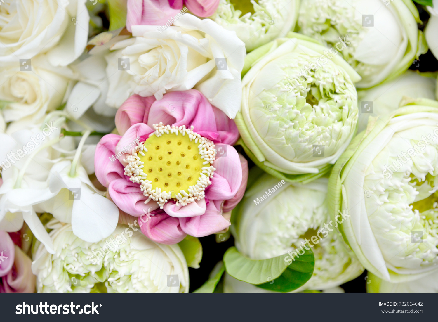 Fresh Beautiful White Pink Lotus Flower Stock Photo (Edit Now ...
