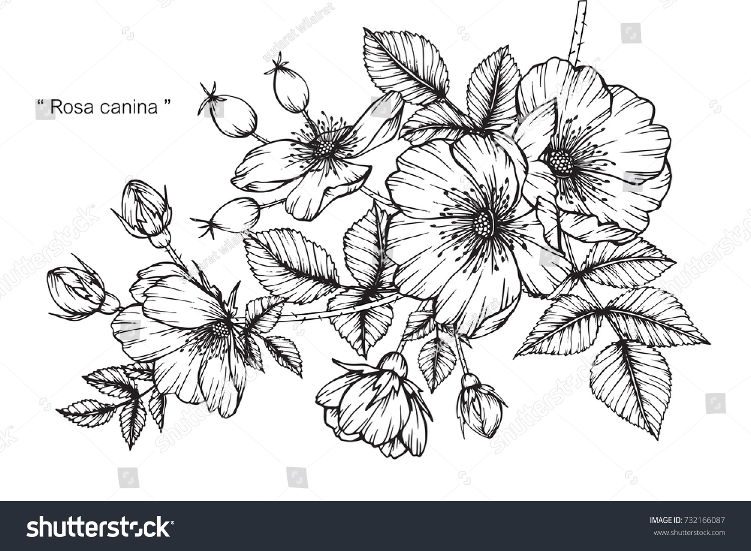 Hand Drawing Sketch Rosa Canina Flower Stock Vector Royalty Free