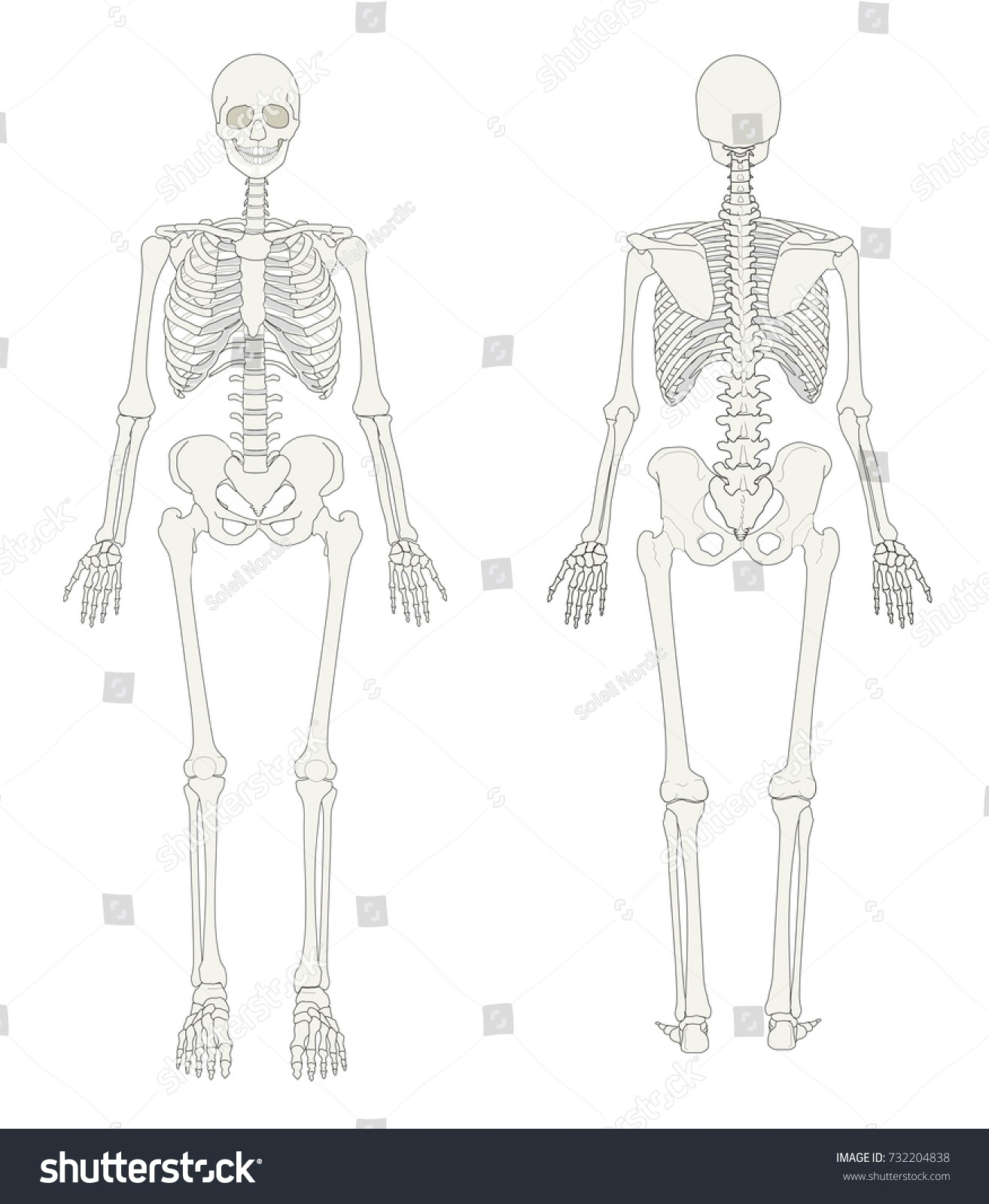 Human Skeleton Seen Front Back Stock Illustration 732204838 ...
