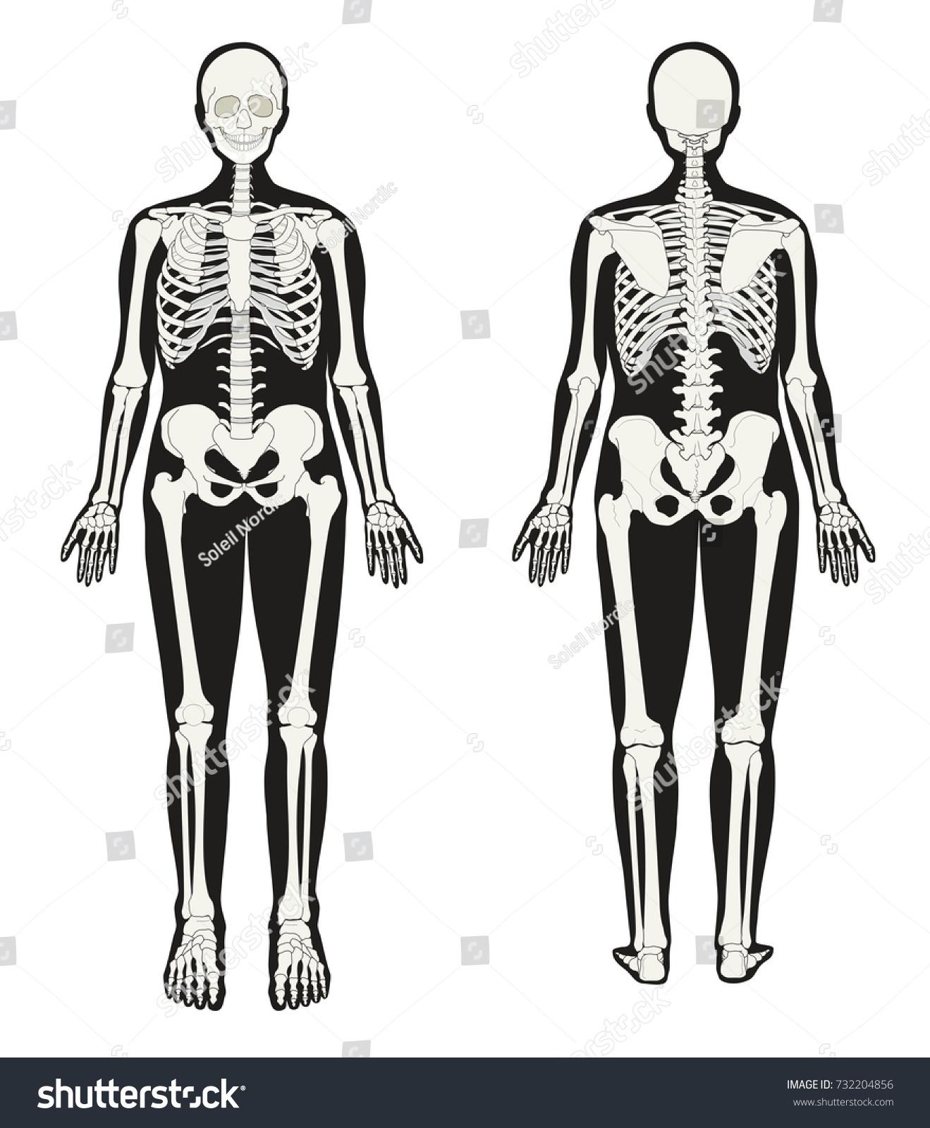 Human Skeleton Seen Front Back Stock Illustration 732204856