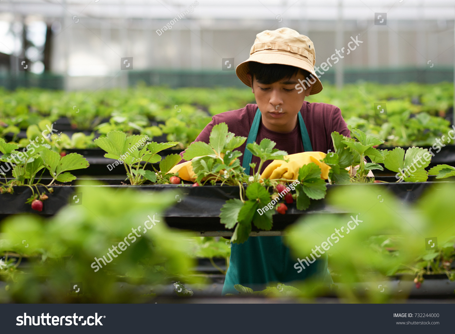 Portrait of handsome young greenhouse worker wearing bucket hat and apron  picking ripe strawberries 0fb4cef3911c