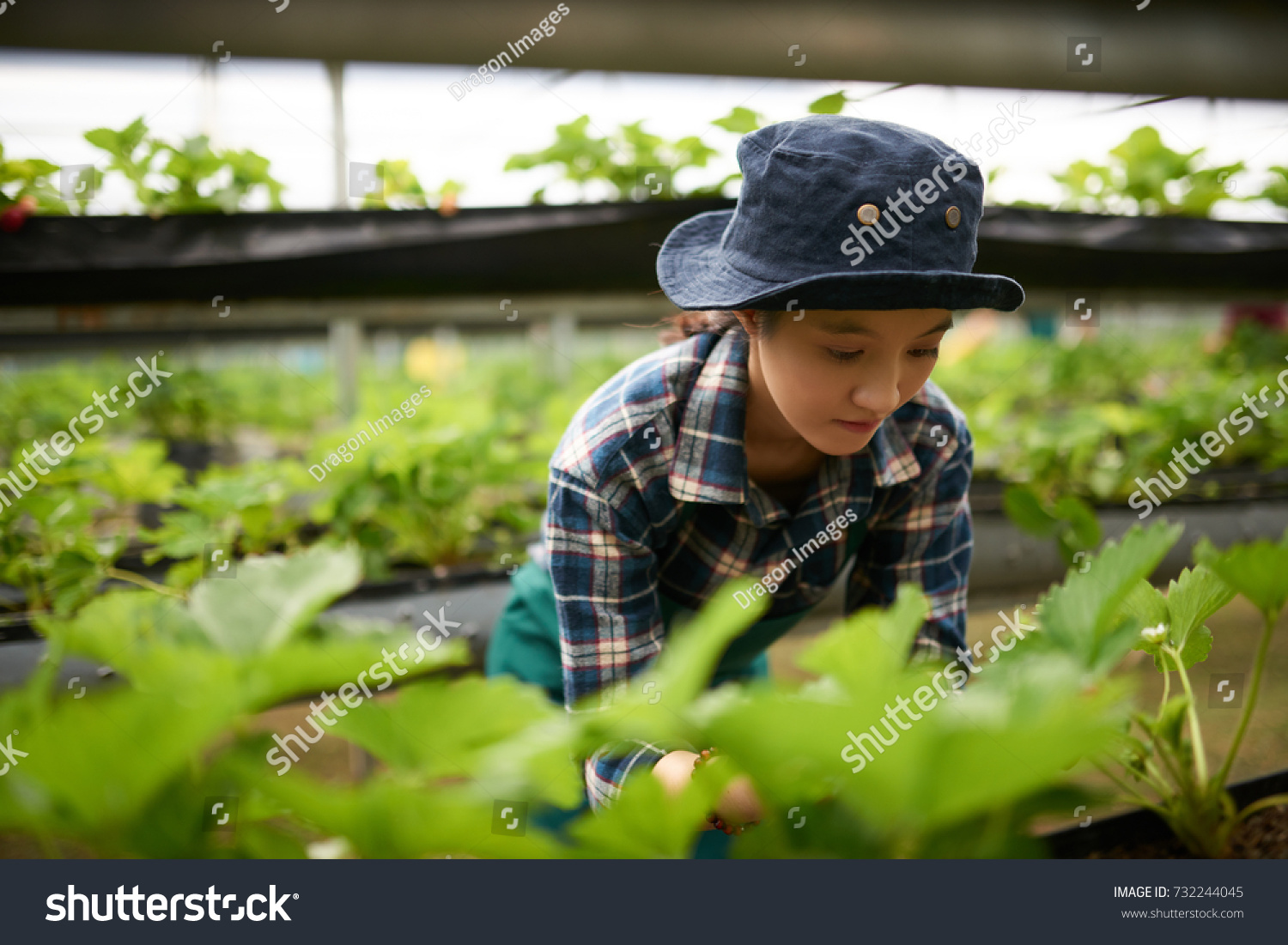 Portrait of hard-working Asian farmer wearing checked shirt and bucket hat  pulling out weeds while working at spacious modern greenhouse - Image 77af39c836c9