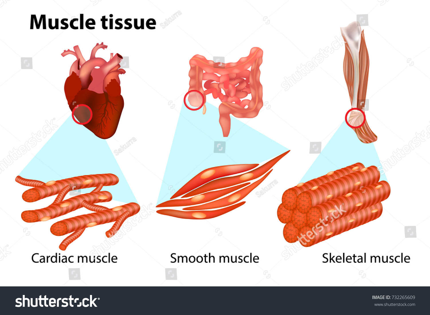 THREE TYPES MUSCLE TISSUE Anatomy Muscular Stock Vector 732265609 ...