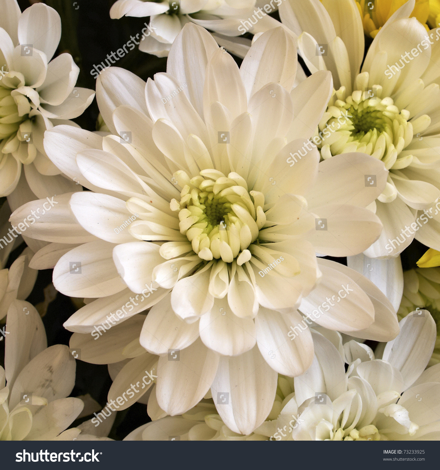 White Chrysanthemum Flower Closeup Stock Photo Edit Now 73233925