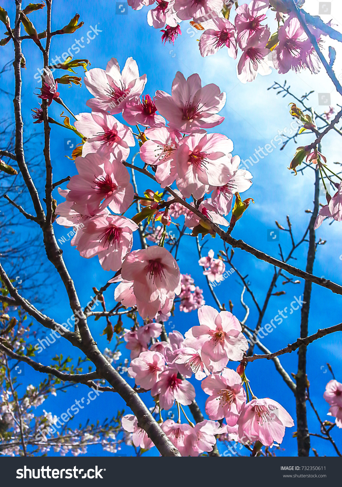 Pink Flowers Cherry Blossom Sakura Flower Stock Photo Edit Now