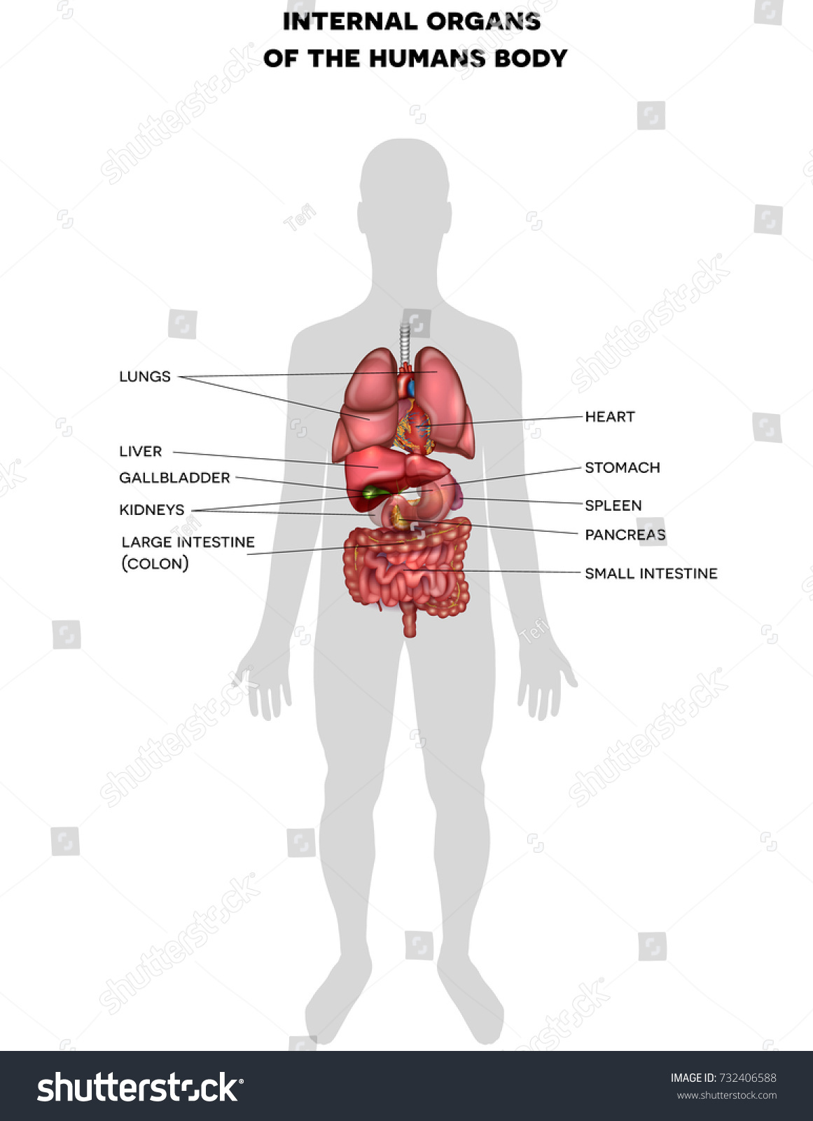 Human Internal Organs 3 D Illustration Anatomy Stock Photo Photo