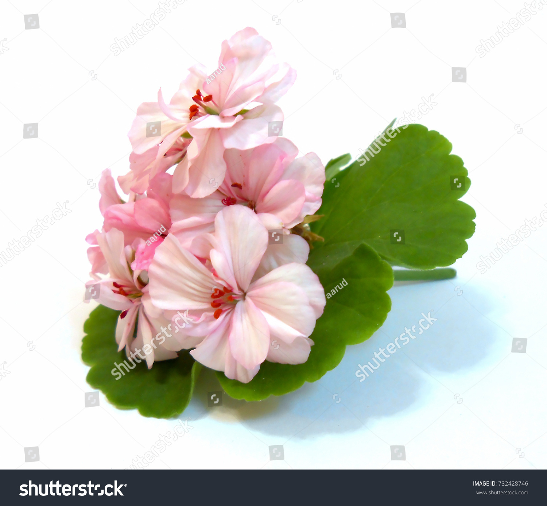 Geranium Flowers Shape Roses Fresh On Stock Photo Royalty Free