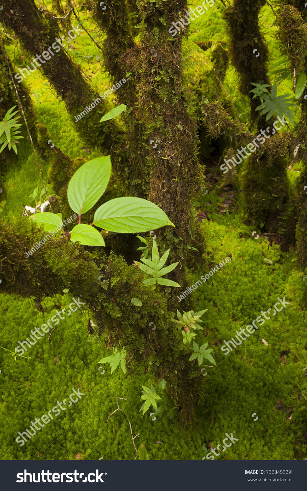 Tropical Evergreen Forest Hill Evergreen Forest Stock Photo Edit Now 732845329 The common animals found in these forests are elephants, monkey, lemur and deer. shutterstock