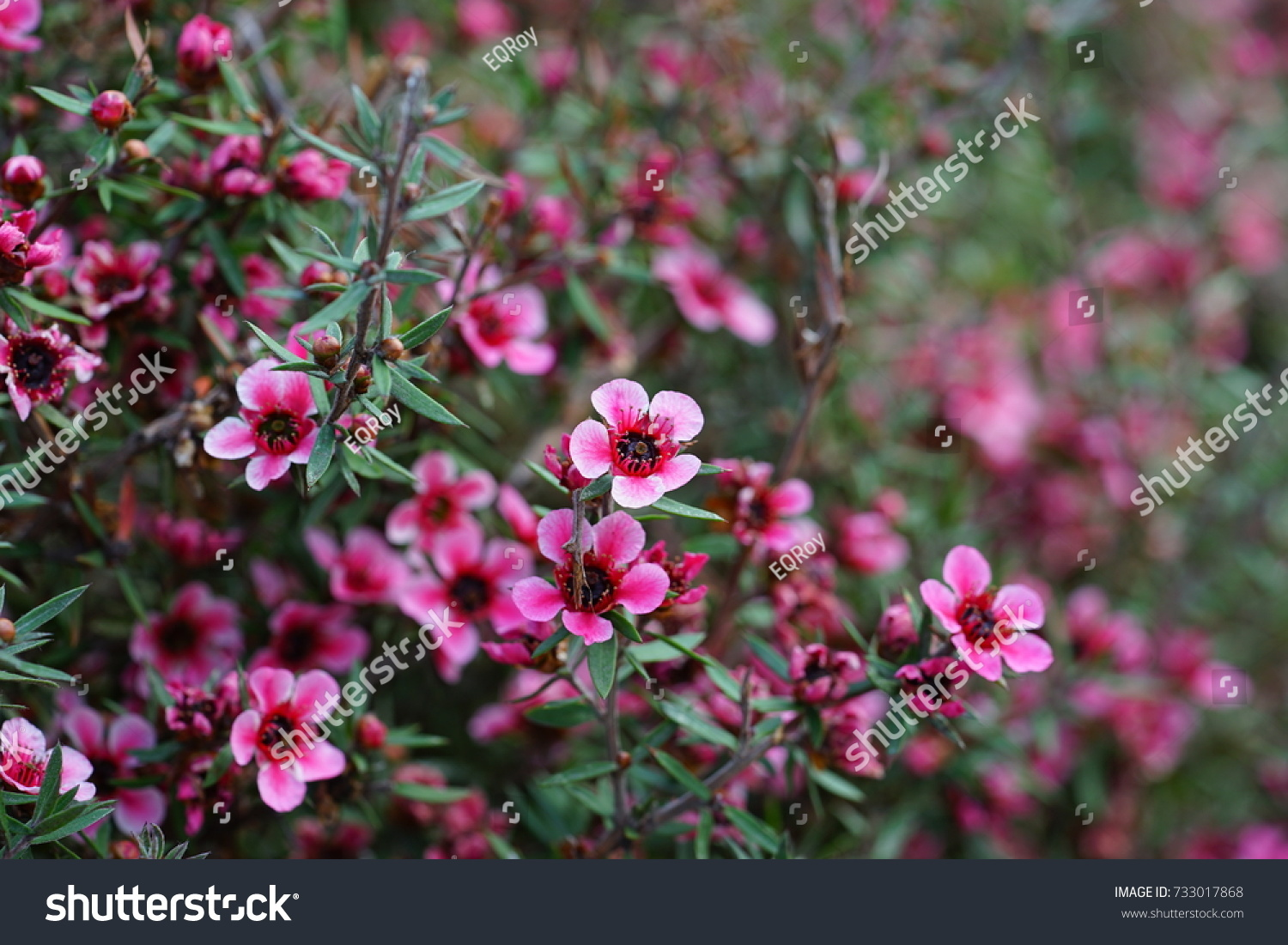 Pink waxflowers chamelaucium growing on a shrub ez canvas id 733017868 mightylinksfo