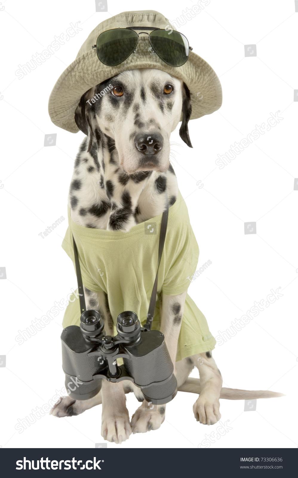 Dalmatian traveler. Acting dog. Focus on head.