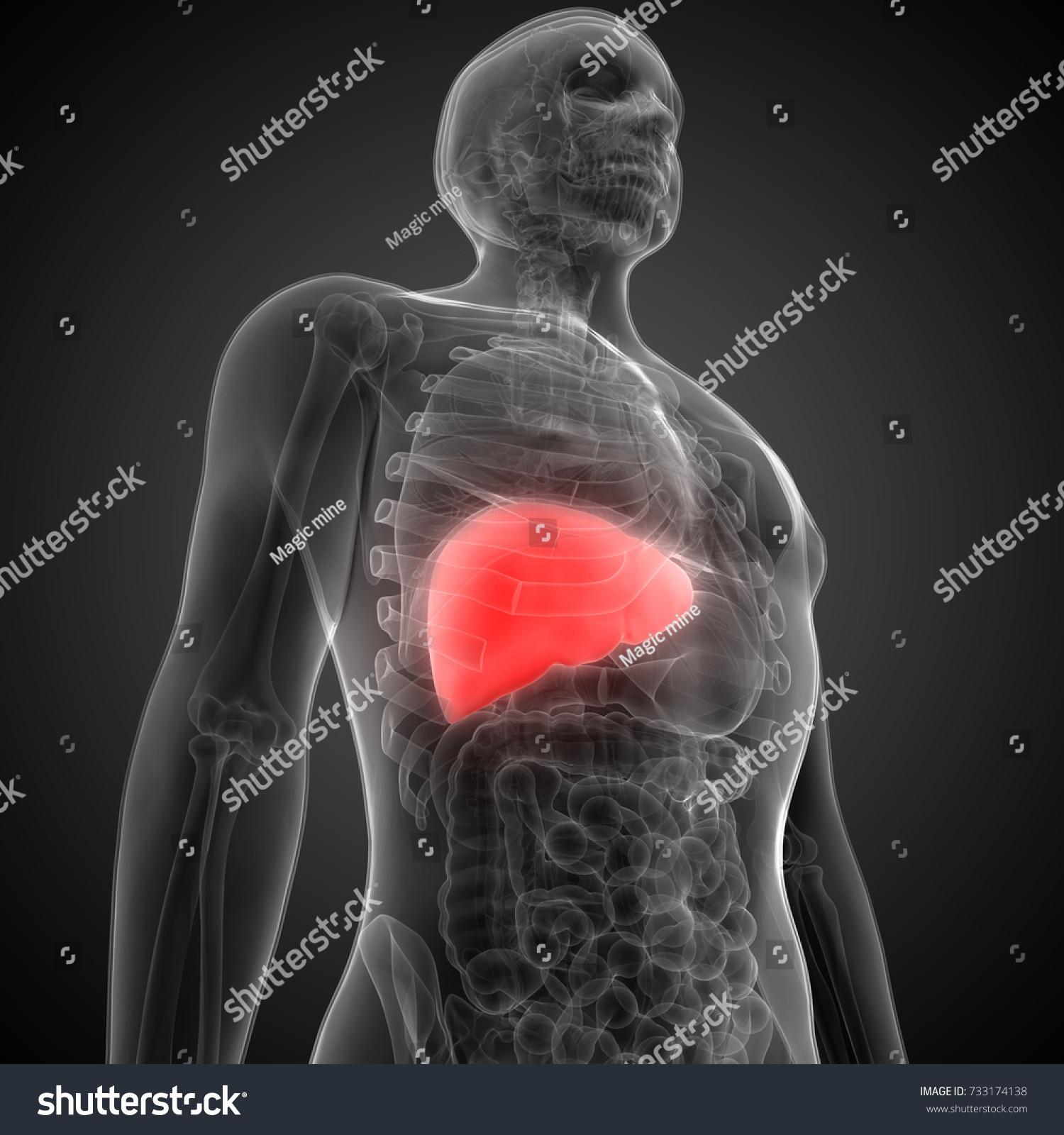 Human Body Organs Anatomy Liver 3 D Stock Illustration 733174138