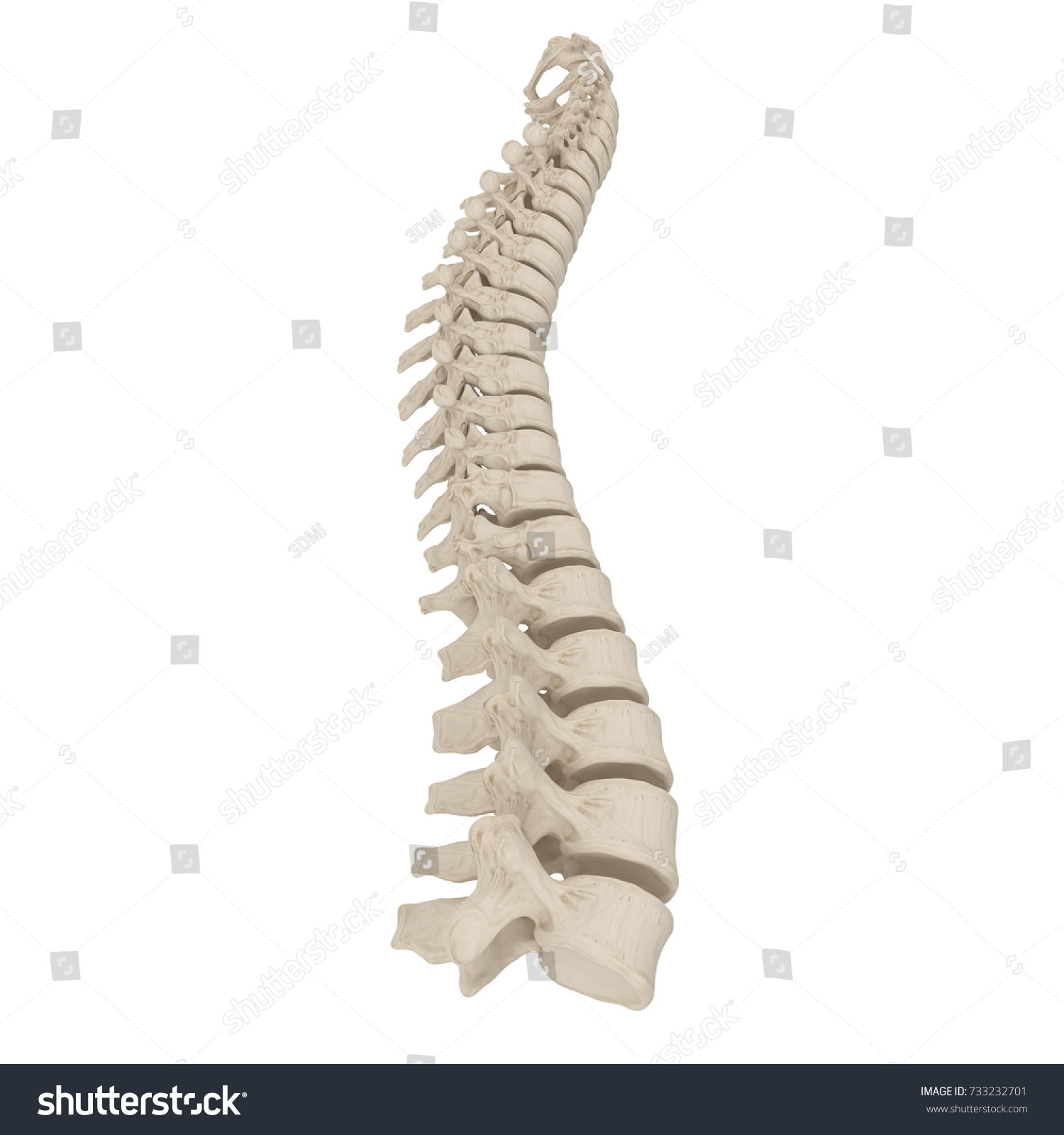Human Lumbar Spine Anatomy On White Stock Illustration 733232701 ...