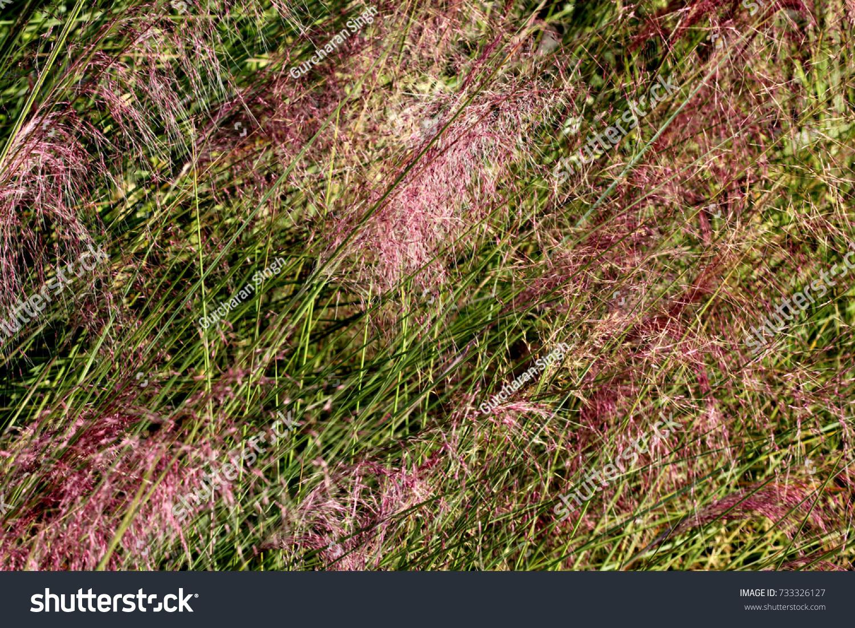 Hairawn Muhly Muhlenbergia Capillaris Perennial Tufted Stock Photo