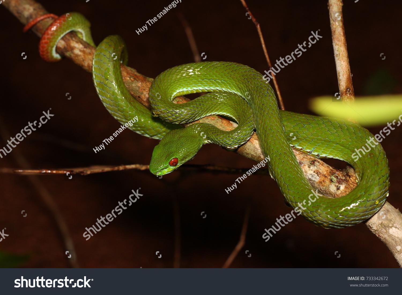 Ruby Eye Pit Viper Trimeresurus Rubeus Animals Wildlife Stock Image 733342672